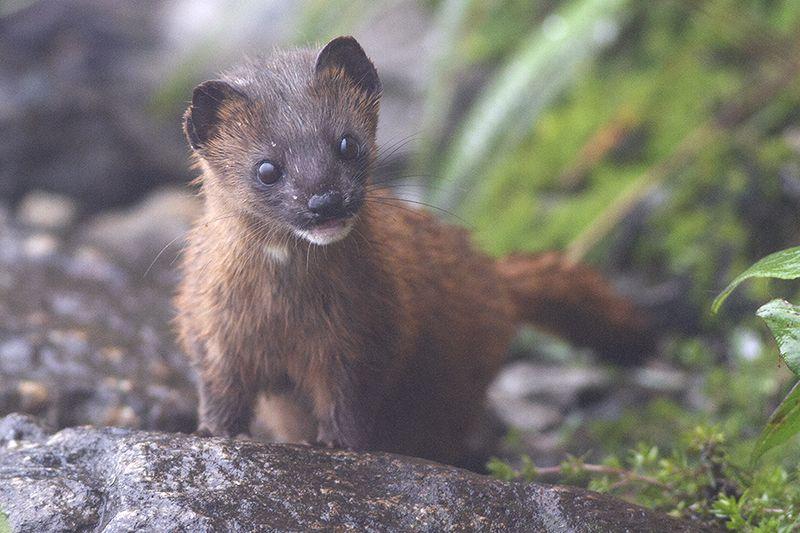 Siberian Weasel