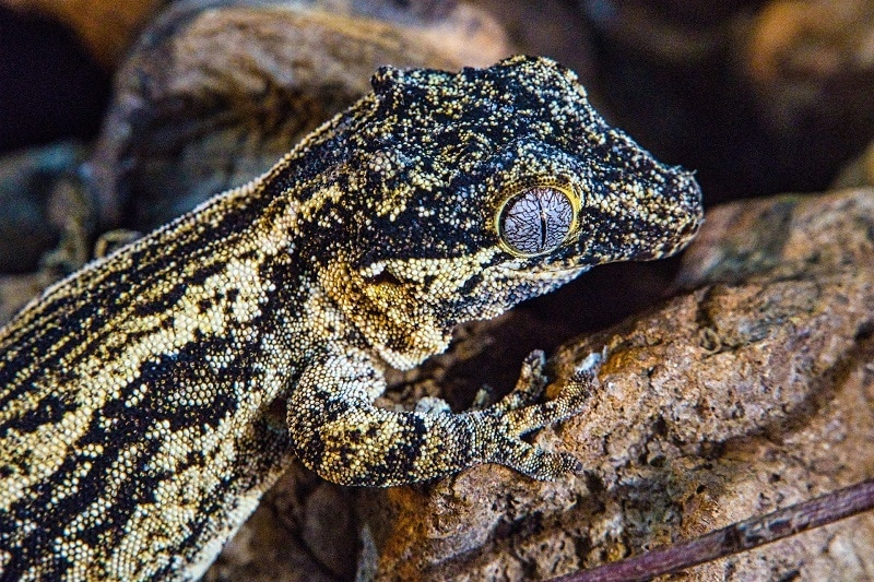 Snake Eyed Gecko