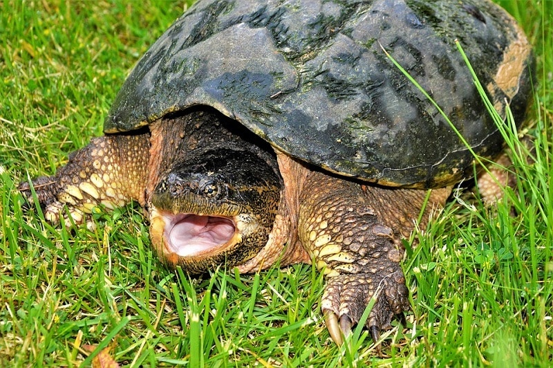 Snapping Turtle Mouth Opened