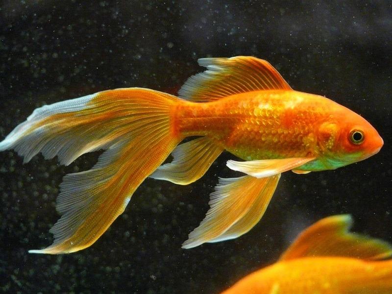 Veiltail Goldfish_Hans, Pixabay