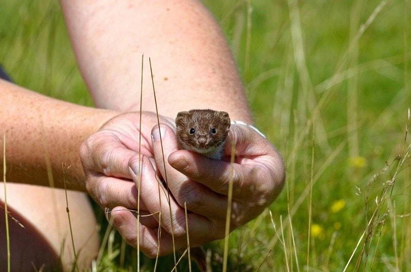 Weasel Mustela nivalis Juvenile_Colin Seddon_shutterstock