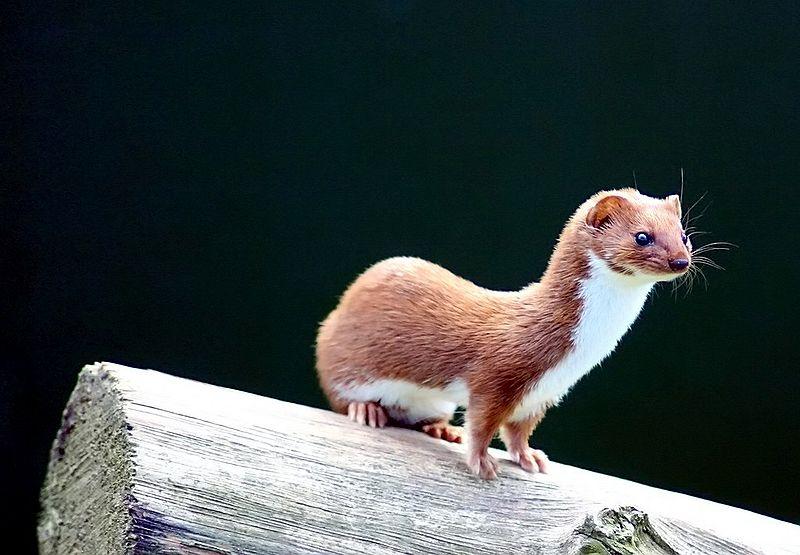 Weasel Training