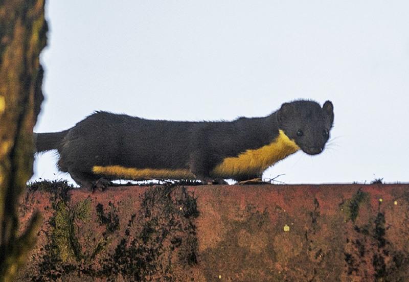 Yellow Bellied Weasel