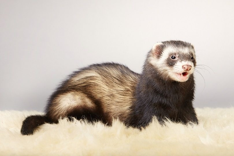 Young ferret male_Couperfield_shutterstock