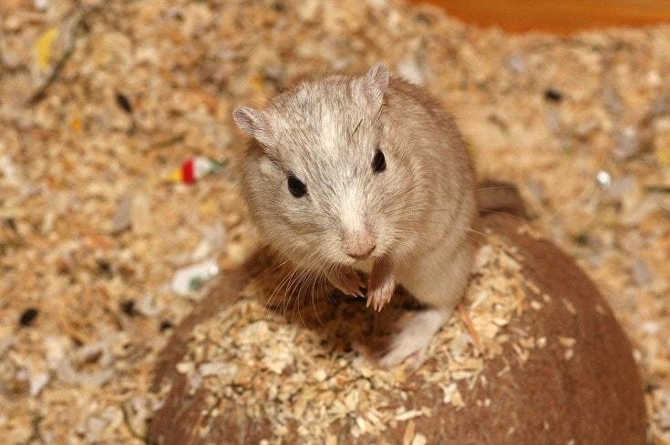 beige hamster