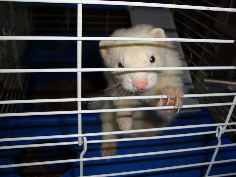 caged albino ferret