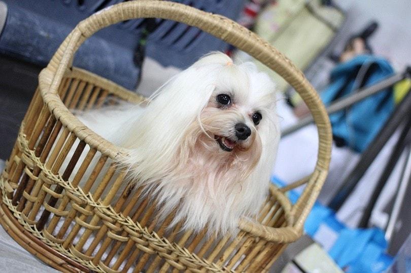 canny-dog-show shih tzu - Neramitevent0-pixabay