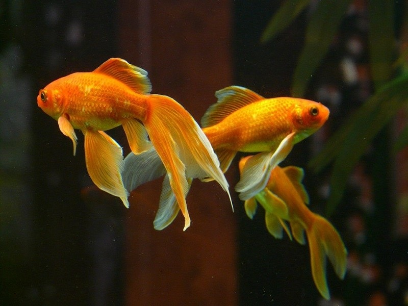 double gold fish