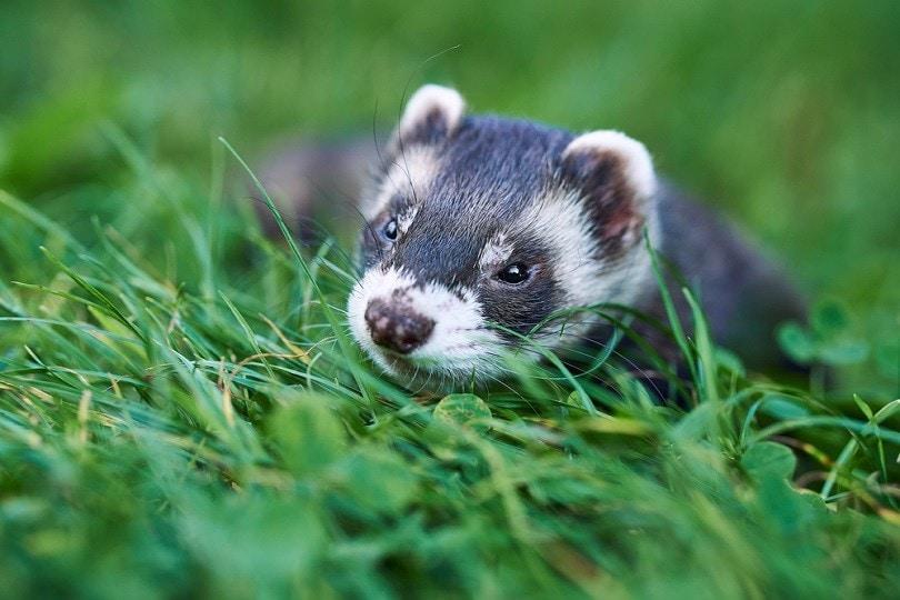 ferret male portrait_Julie Gaia_shutterstock