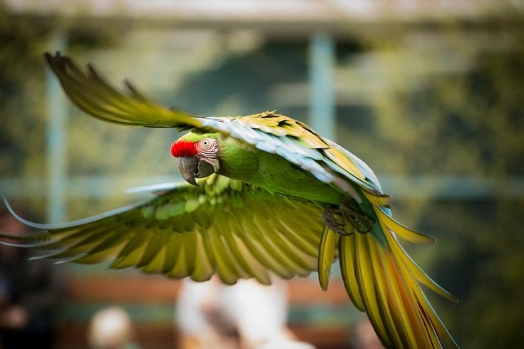 flying Military Macaw