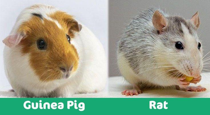 guinea pig vs rat visual