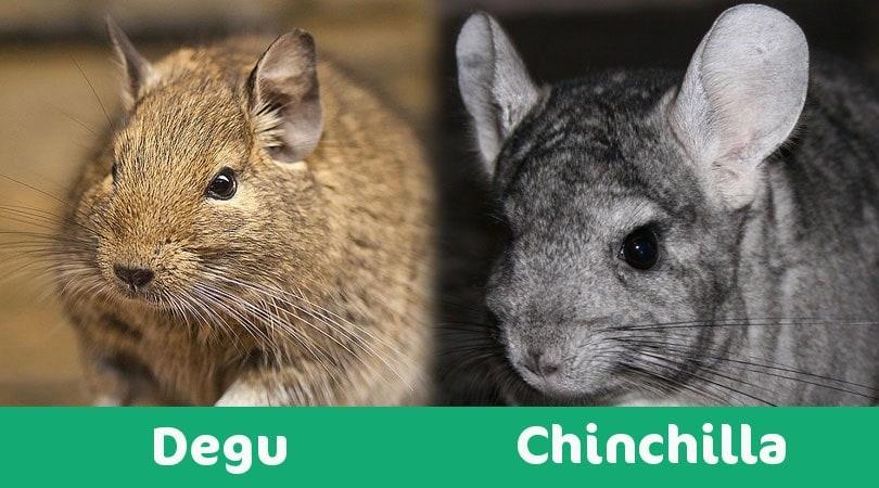 chinchilla vs degu visual
