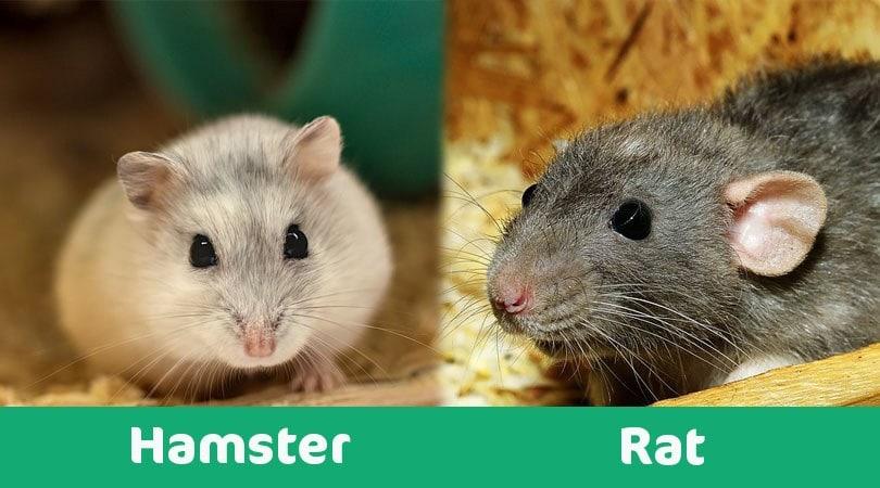 hamster vs rat visual