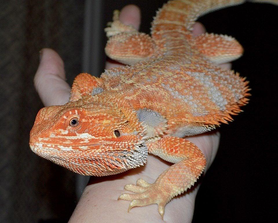 hypomelanistic morph bearded dragon