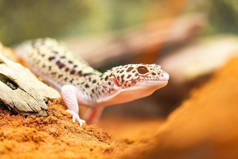 leopard Gecko Desert