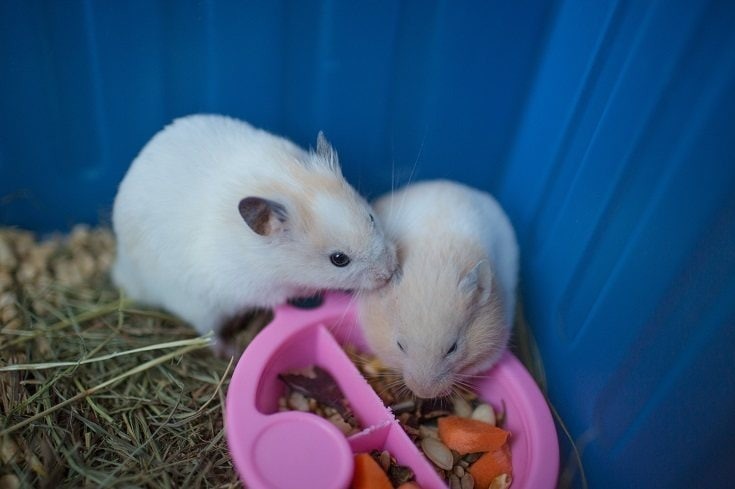 male and female hamster