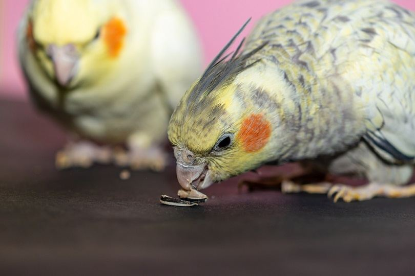parrots couple eating seeds_Haris Mm_shutterstock