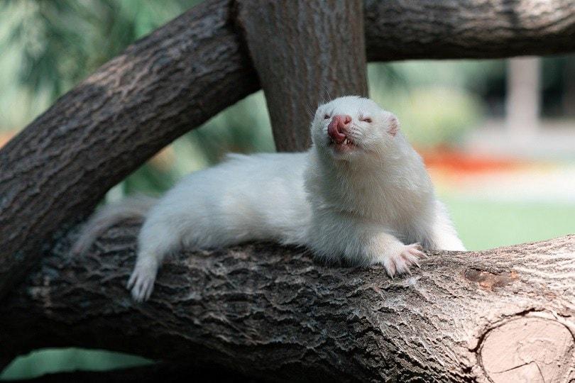 rare albino angora ferret_Sergei Avdeev_shutterstock