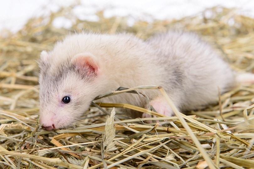 rodent ferret sits on dry hay_Inna astakhova_shutterstock