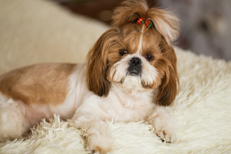 shih tzu with a practical top knot