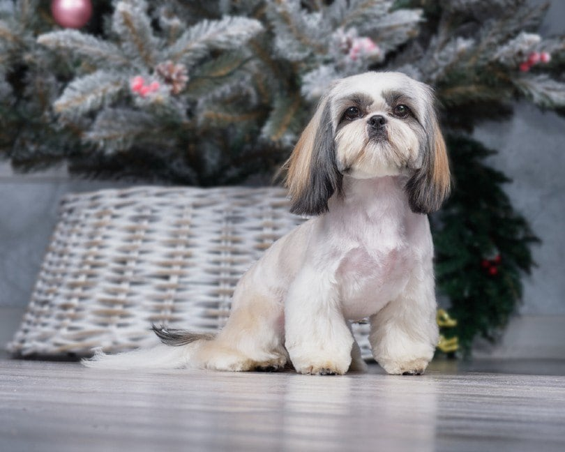 shih tzu with cone paws