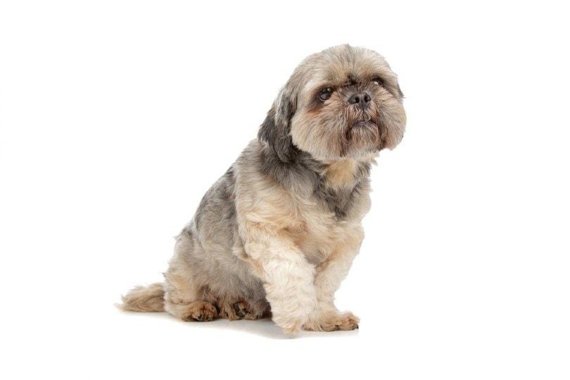 shih tzu with medium-length puppy cut