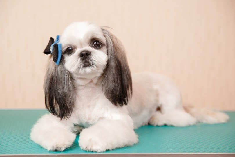 shihs tzu with the long ear puppy cut