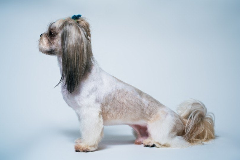 shih tzu with the short in the middle, long on the ends cut
