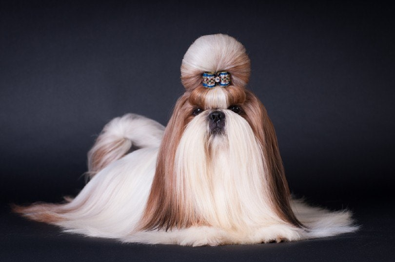shih tzu with the top knot show cut