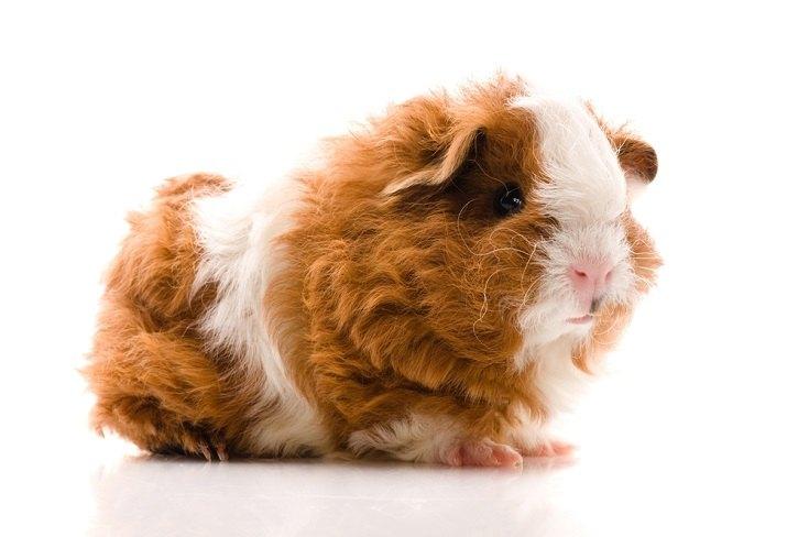 texel guinea pig