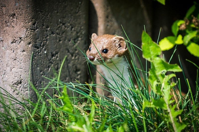 tiny weasel