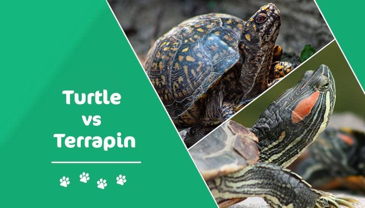 turtle vs terrapin
