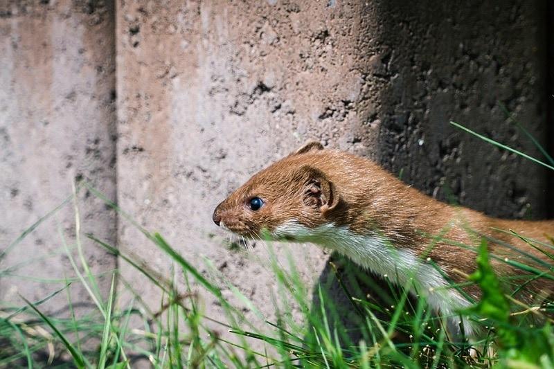 weasel outdoor