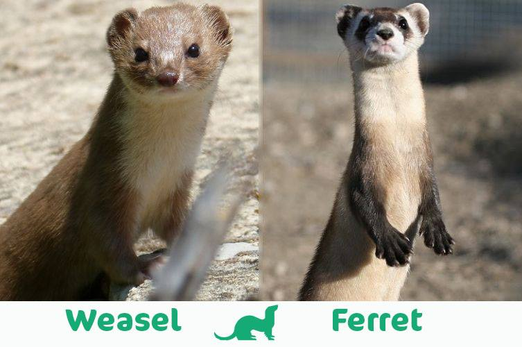 weasel vs ferret visual