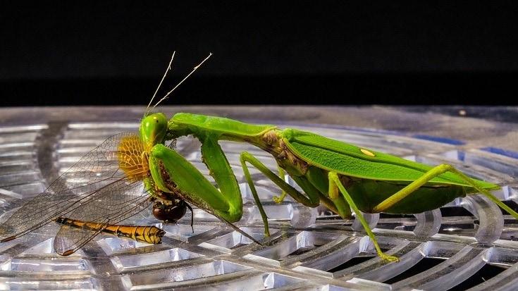 A praying mantis eating