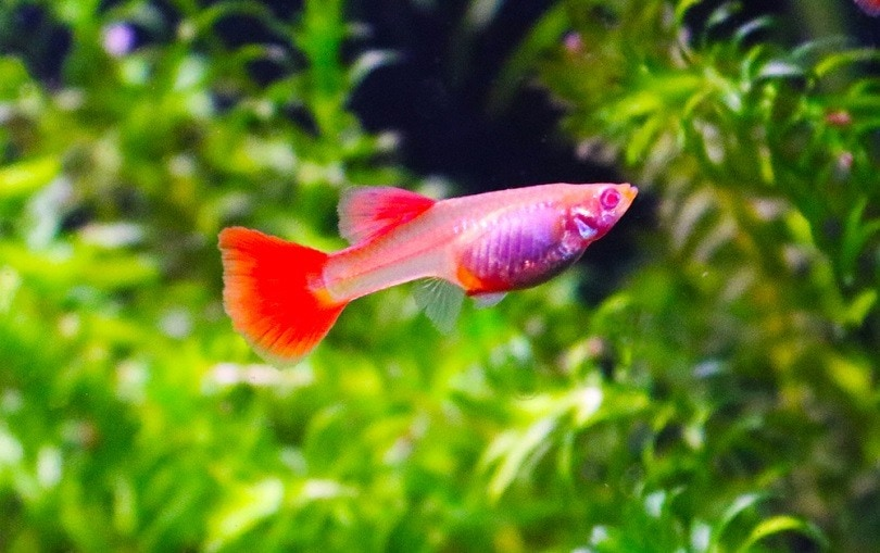 Albino Full Red Guppy_Erdem Aytas_shutterstock