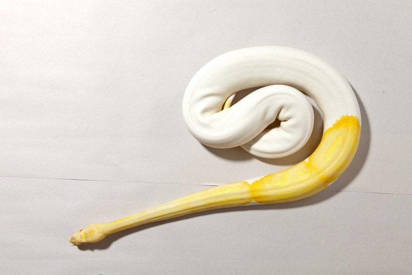Albino piebald ball python_Oom Chaowanapreecha_shutterstock