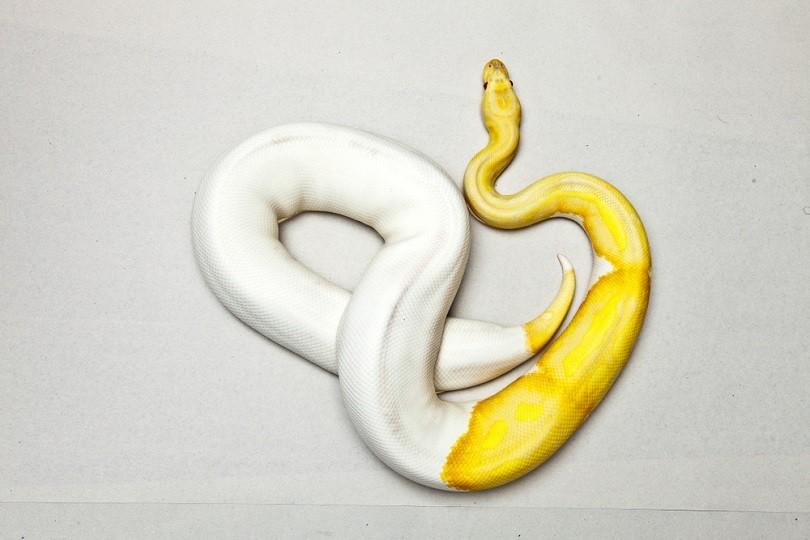 Albino piebald ball python_Oom Chaowanapreecha_shuttesrtock