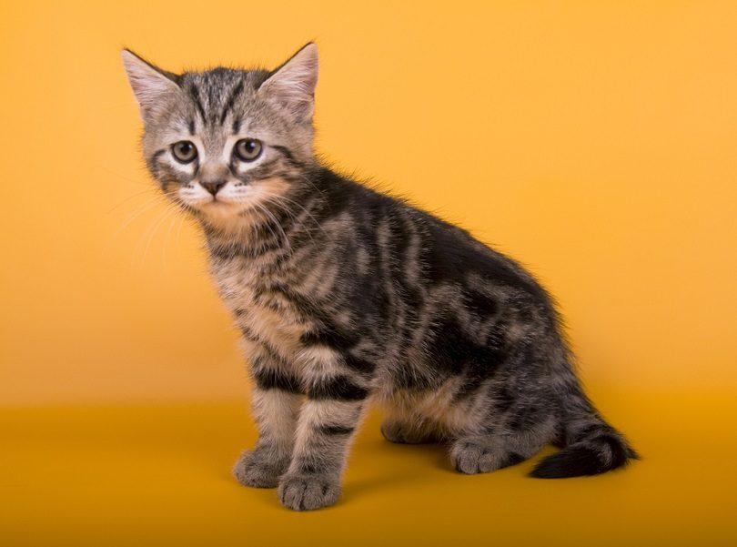 Australian Mist little cat kitty_OrangeGroup_shutterstock