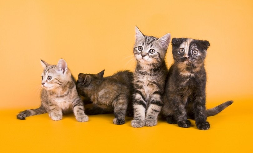 Australian mist little cat kitty_OrangeGroup_shutterstock (2)