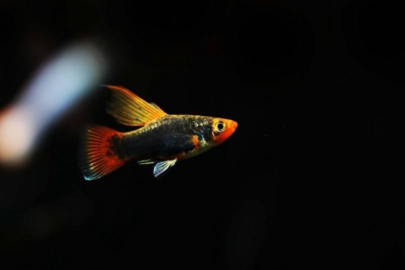Black Hamburg platy fish_Pavaphon Supanantananont_shutterstock