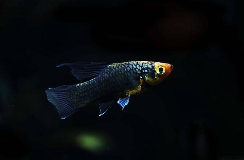 Black Hifin platy fish_Pavaphon Supanantananont_shutterstock