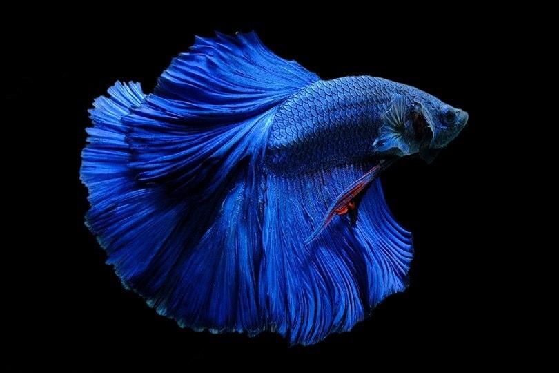 Blue colour betta fish_Jeravano_shutterstock