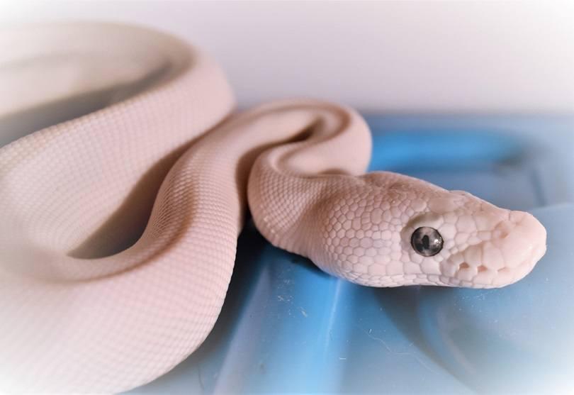 Blue eyed leucistic ball python_Denise Knobloch_shutterstock