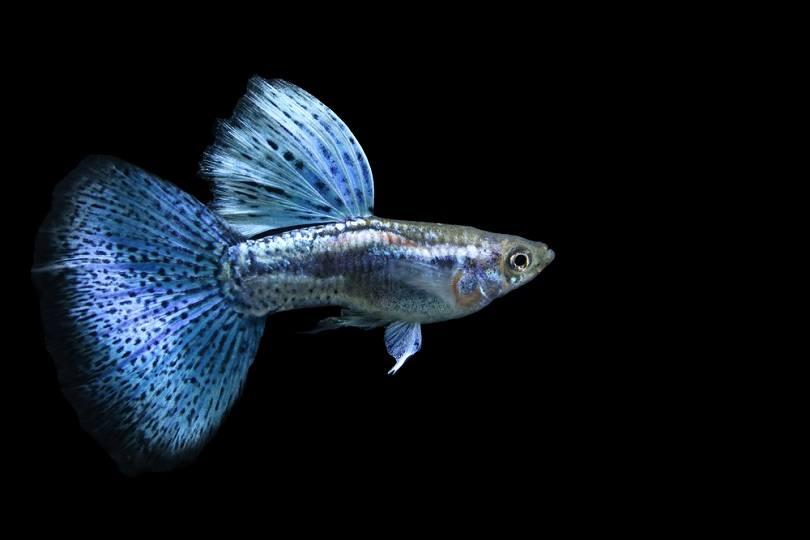 Blue grass delta tail guppy_Sarun Khaodara_shutterstock