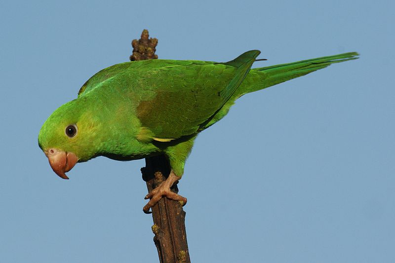 Brotogeris Parakeet