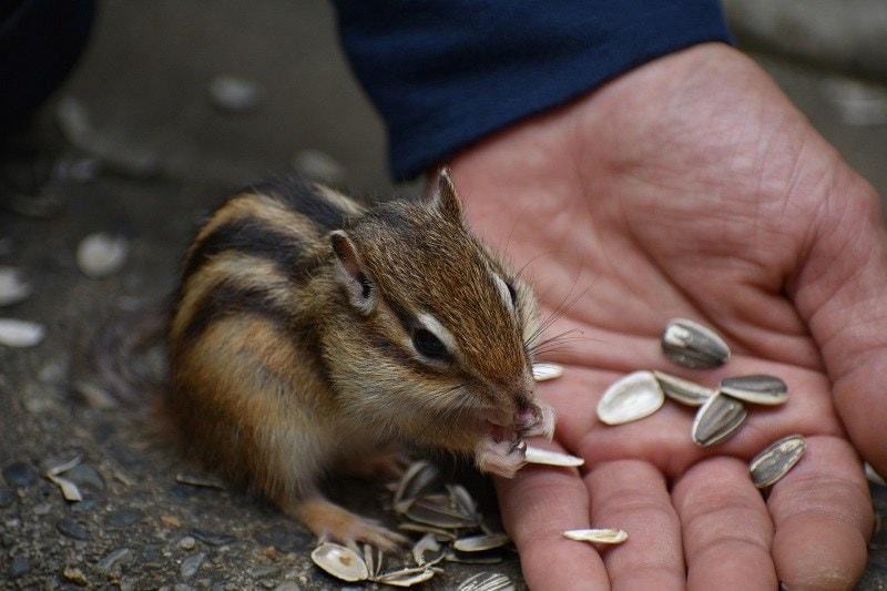 Chipmunk Pet