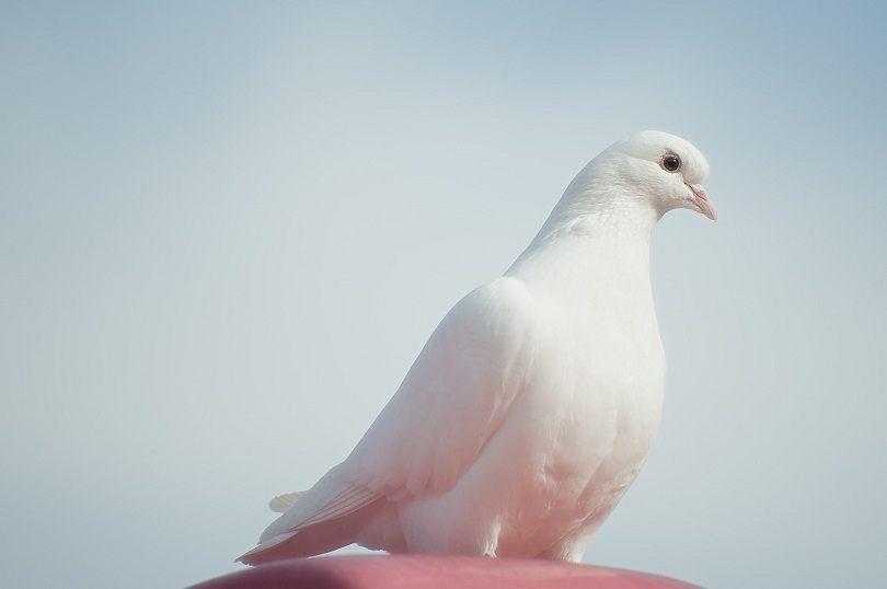 Dove-pixabay