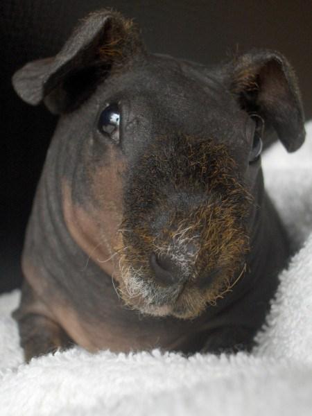 Een goudagouti skinny pig-Commons Wikimedia