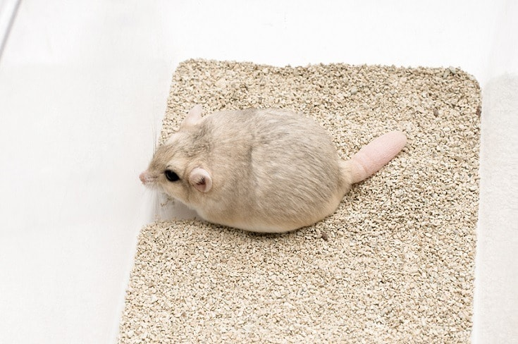 Fat tailed Gerbil